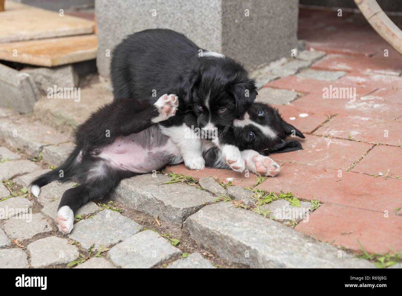 Two Black Australian Shepherd Puppies Are Playing Together Stock Photo