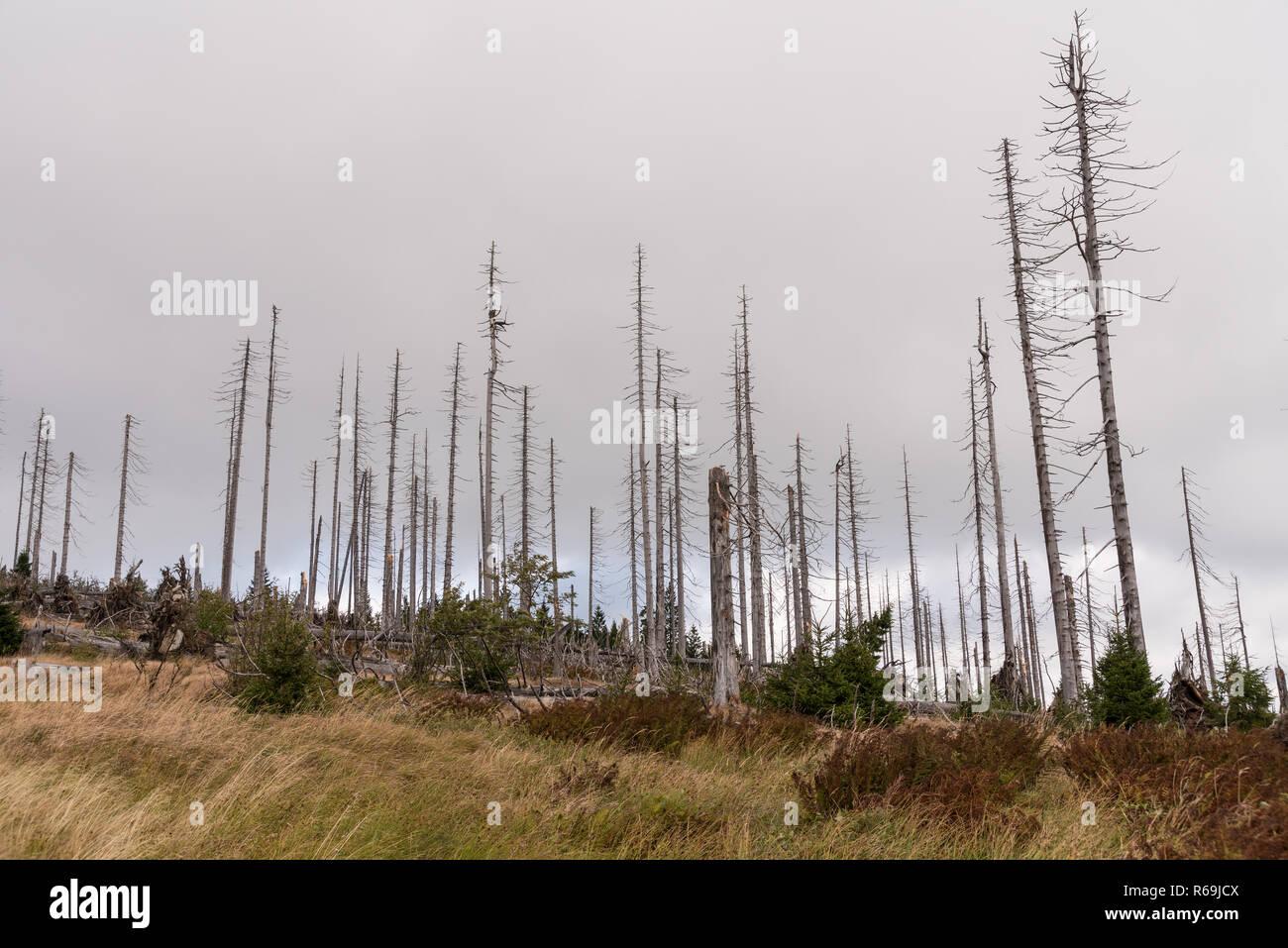 Bare Trees On Dreisesselberg After Bark Beetle Infestation - Stock Image