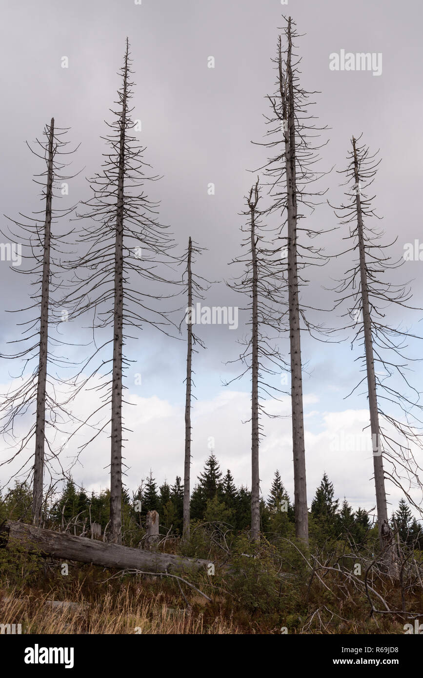 Bare Trees After Bark Beetle Infestation In The Bavarian Forest - Stock Image