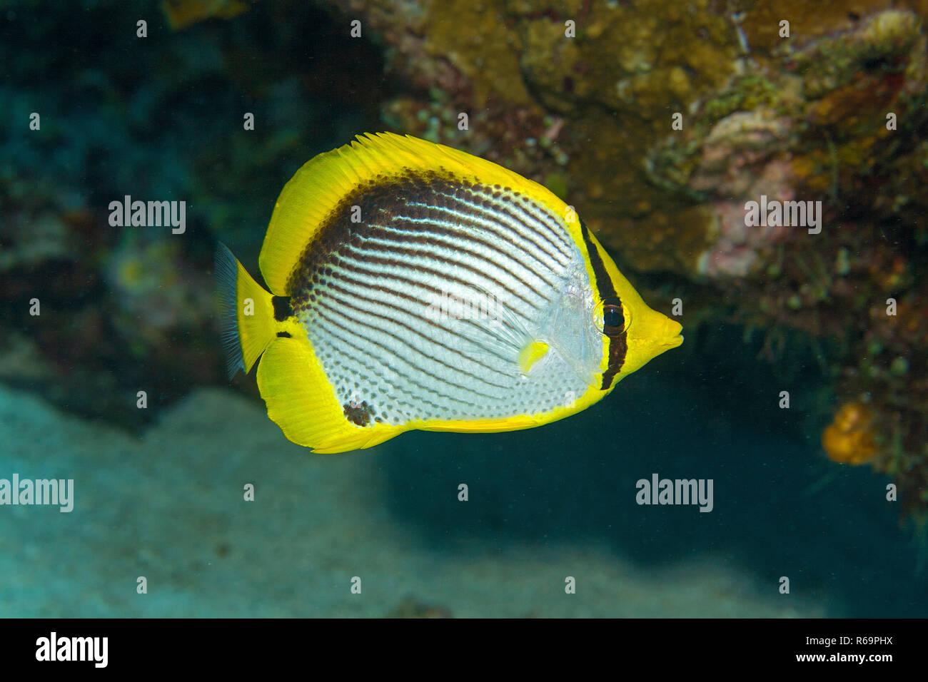 Blackback Butterflyfish (Chaetodon melannotus), Saparua, Cape Paperu, Moluccas, Indonesia Stock Photo