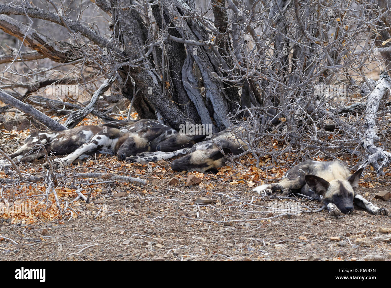 African wild dogs (Lycaon pictus), pack lying on arid ground, sleeping under dry bush, Kruger National Park, South Africa - Stock Image