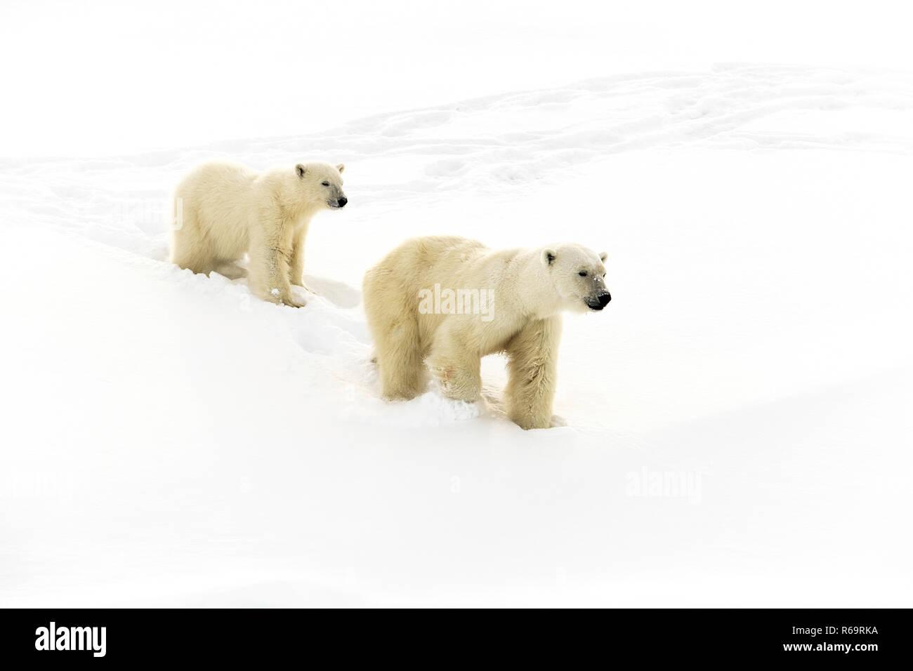 Polar bears (Ursus maritimus), mother animal and 15 months old cub walking in snow, Unorganized Baffin, Baffin Island, Nunavut Stock Photo