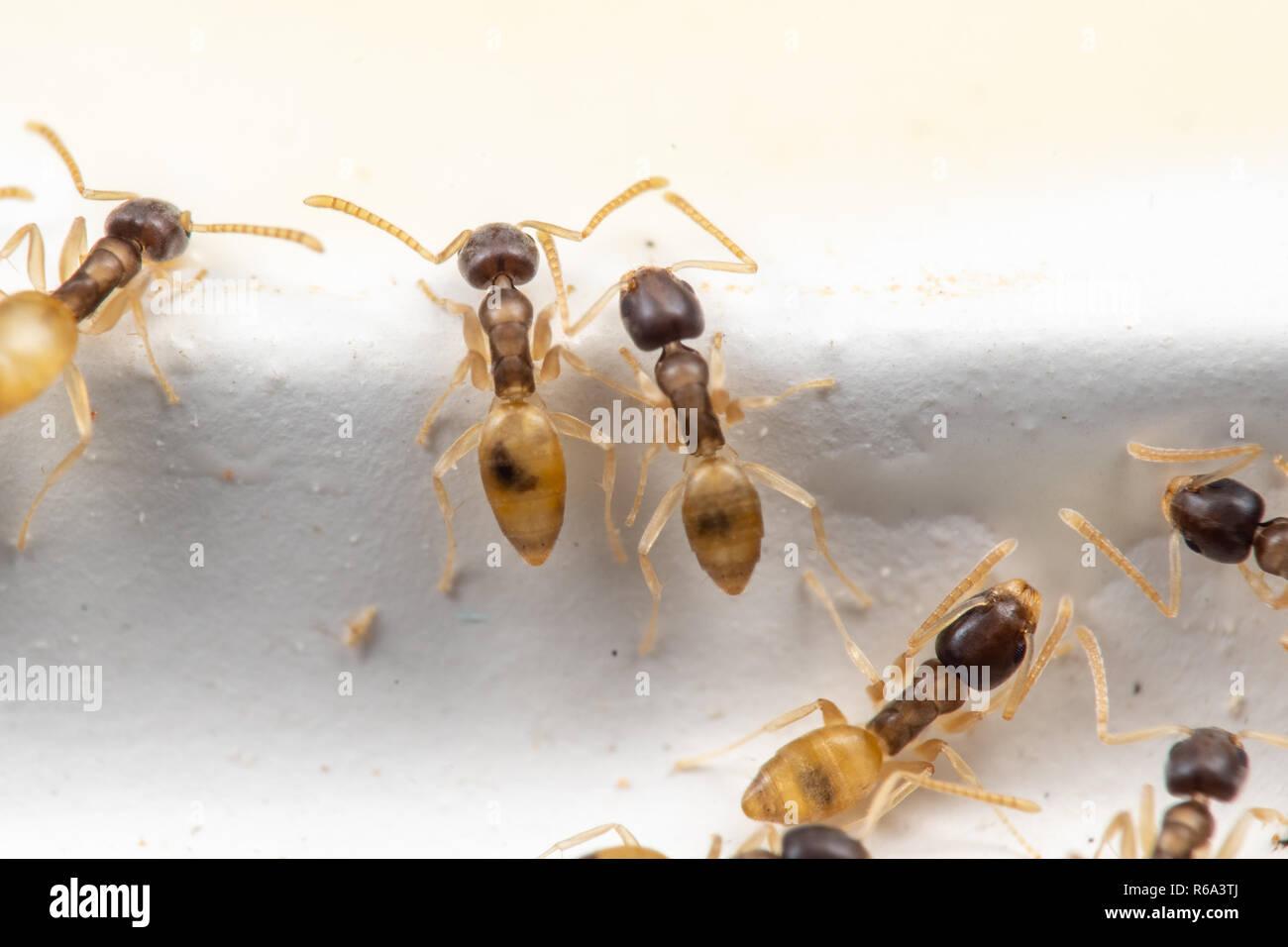 Tapinoma melanocephalum ghost ants from above - Stock Image