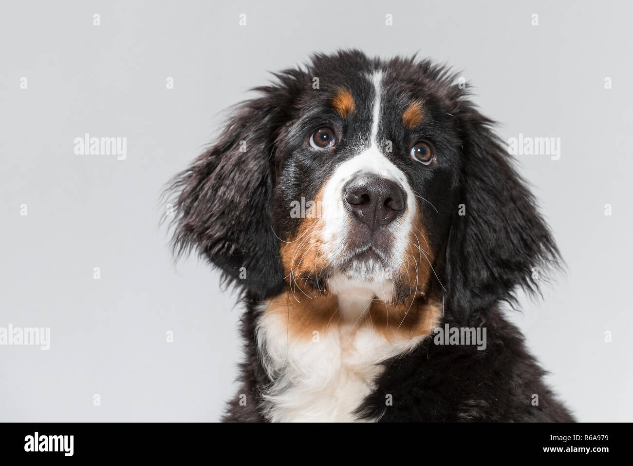 Portrait Of A Young Bernese Mountain Dog In Studio In Front Of White Background Stock Photo
