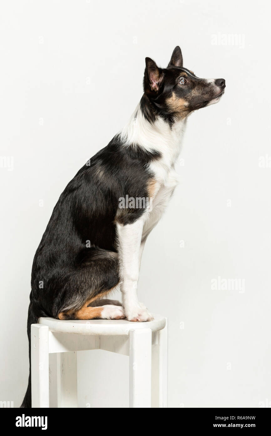 Exercises That Promote The Discipline, Coordination And Concentration Of A Young Border Collie Stock Photo