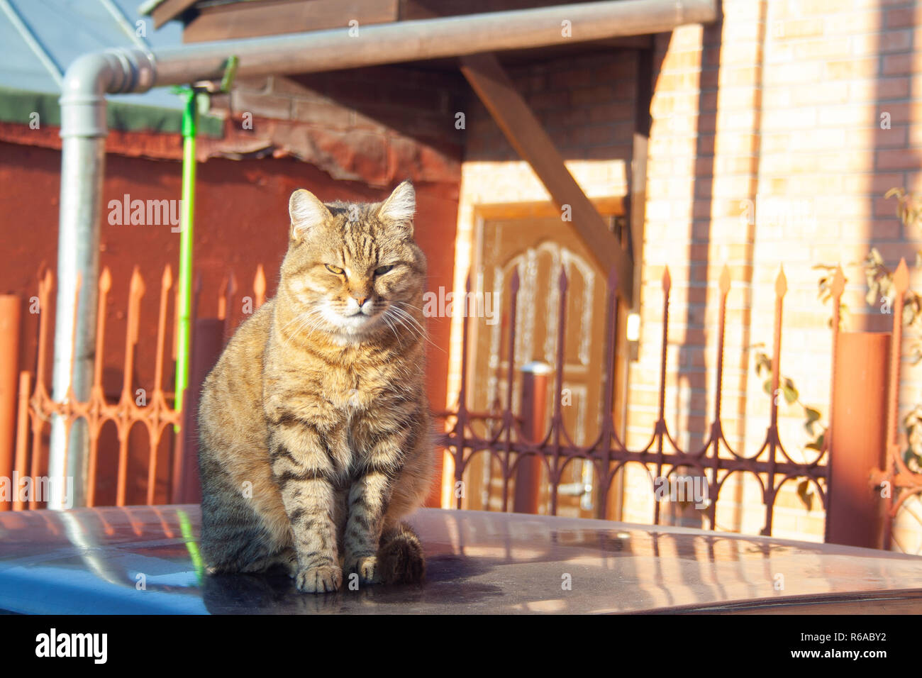 A big fluffy tabby cat sits on the roof of a car on a sunny autumn day. - Stock Image