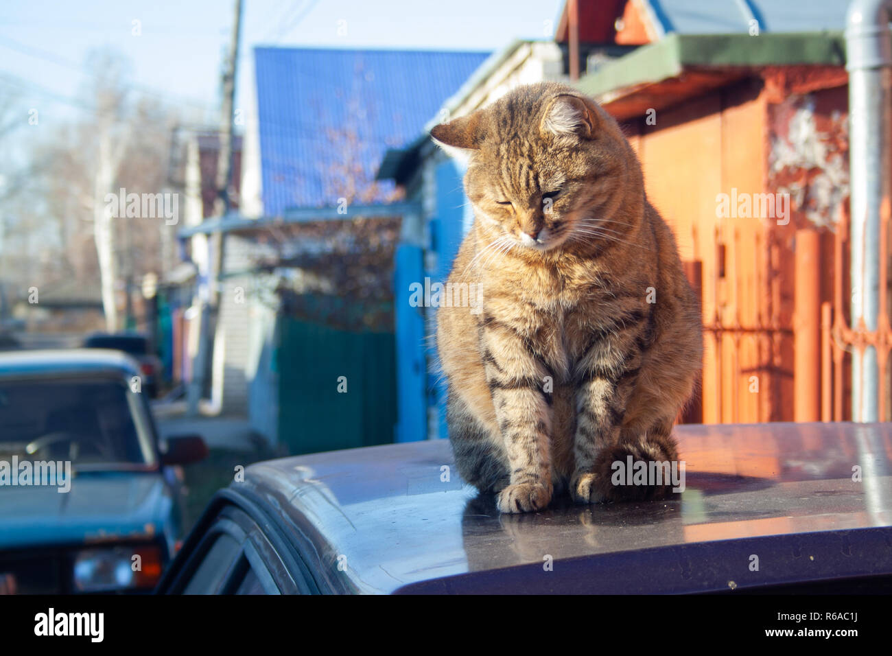 A big fluffy tabby cat sits on the roof of a car on a sunny autumn day. Stock Photo