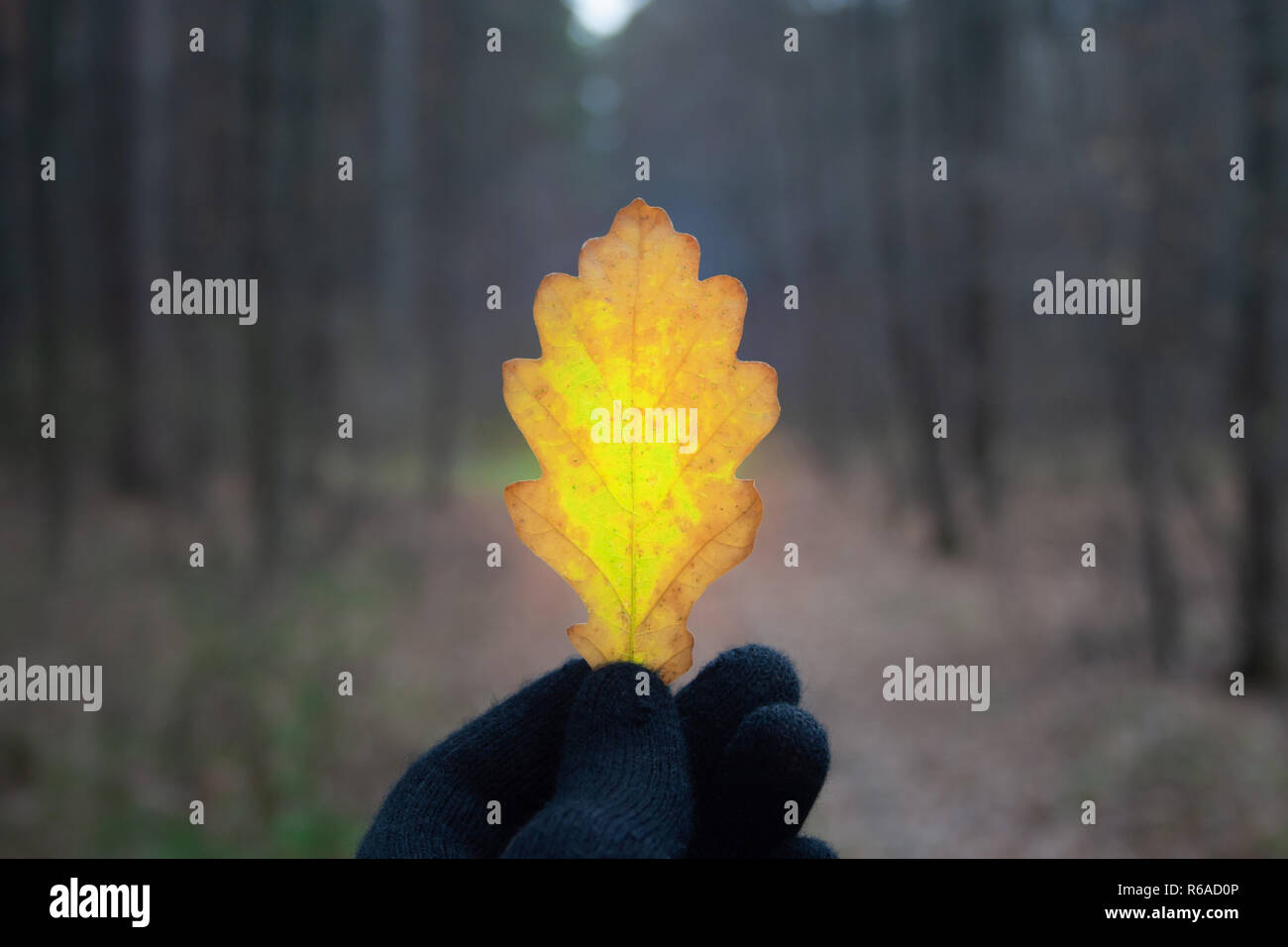 Oak leaf in man's hand in gloomily forest at november - Stock Image