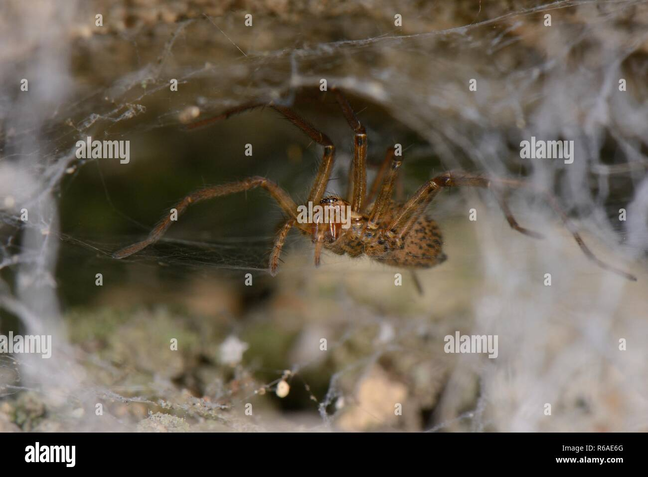 Female House spider (Tegenaria sp.) on her web in an old stone wall, Wiltshire, UK, October. - Stock Image