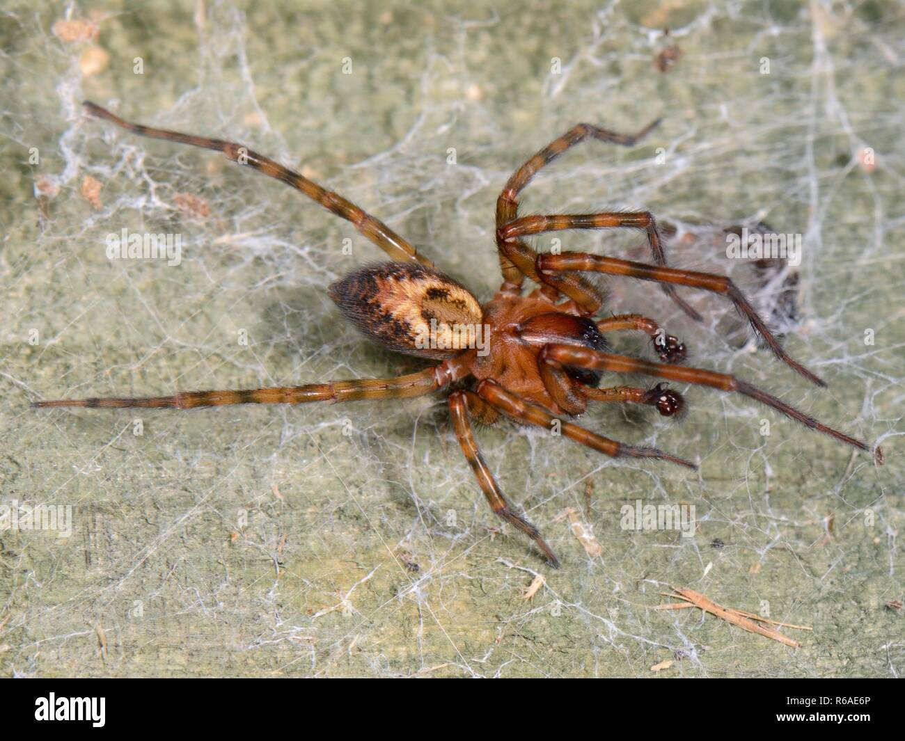 Common lace weaver / Lace-webbed spider (Amaurobia similis) male on  a female's web on a garden fence, vibrating it at intervals to court her. - Stock Image