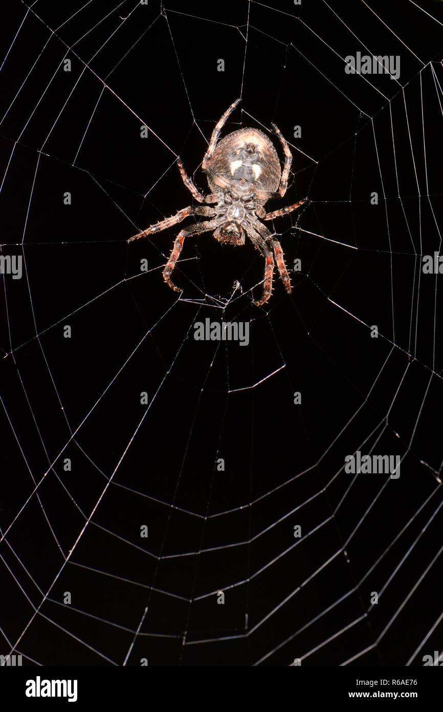 Walnut orb-weaver spider (Nuctenea umbratica) female, on its web on an ivy bush in a garden at night, Wiltshire, UK, October. - Stock Image