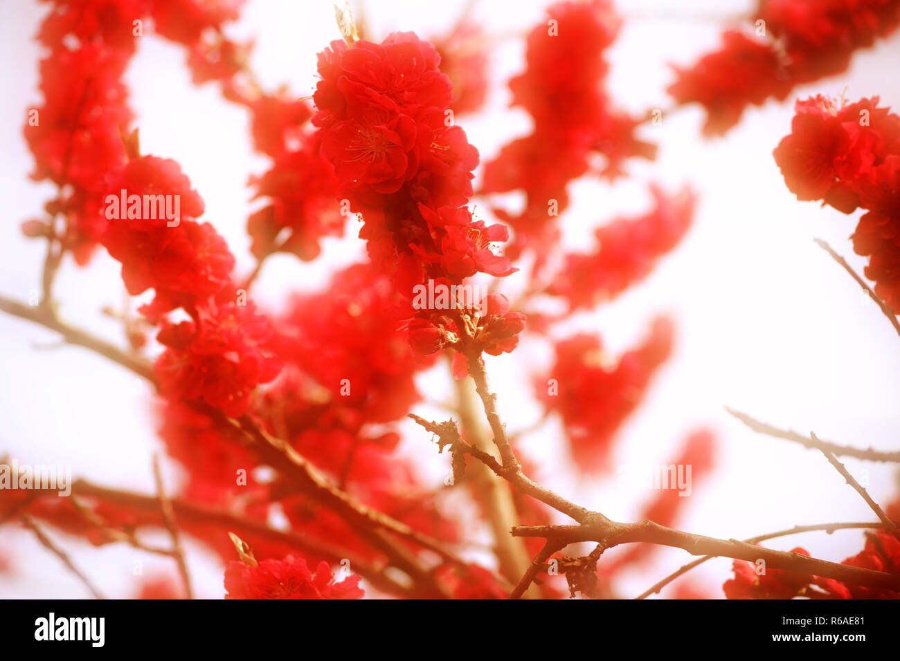 Red Peach Blossoms Stock Photo