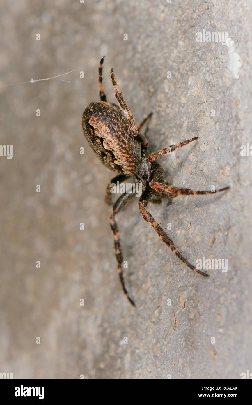 Walnut orb-weaver spider (Nuctenea umbratica) female with her back feet resting on strands of her web to detect vibrations from trapped insects, UK. - Stock Image