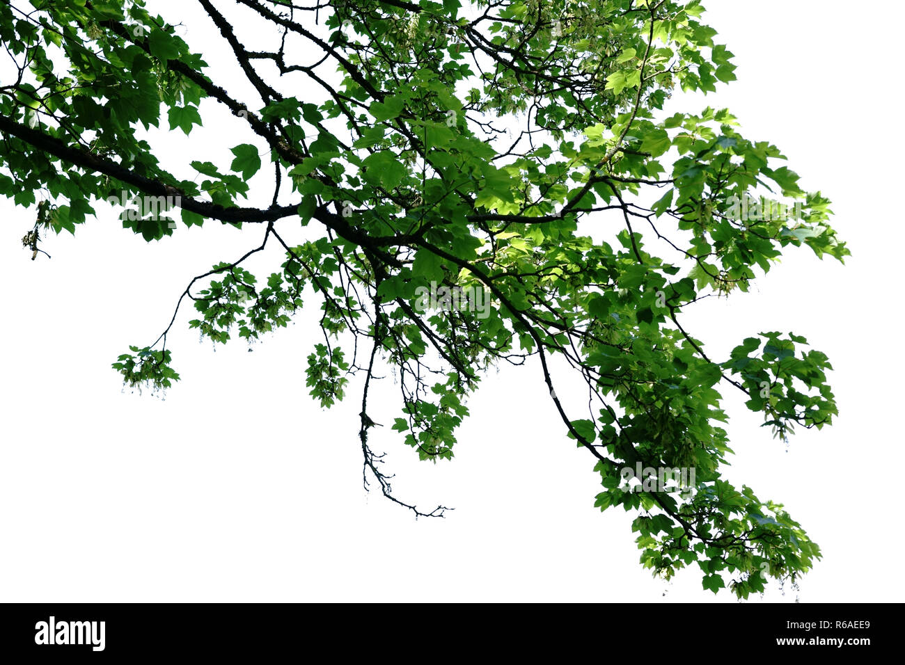 Tree Canopy In Front Of A White Background - Stock Image