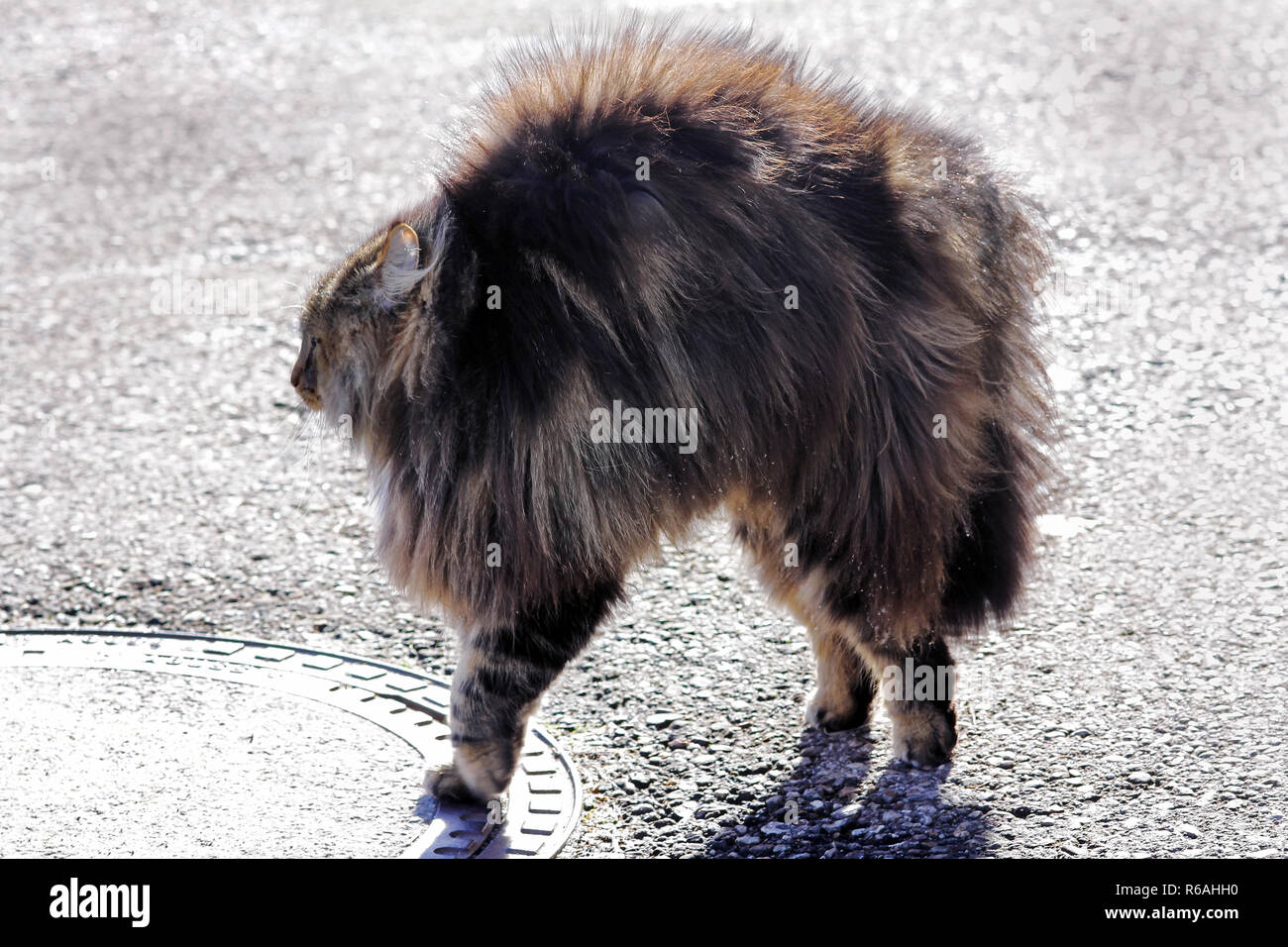 a norwegian forest cat is evil and makes a cat hump. a cat grows up and threatens Stock Photo