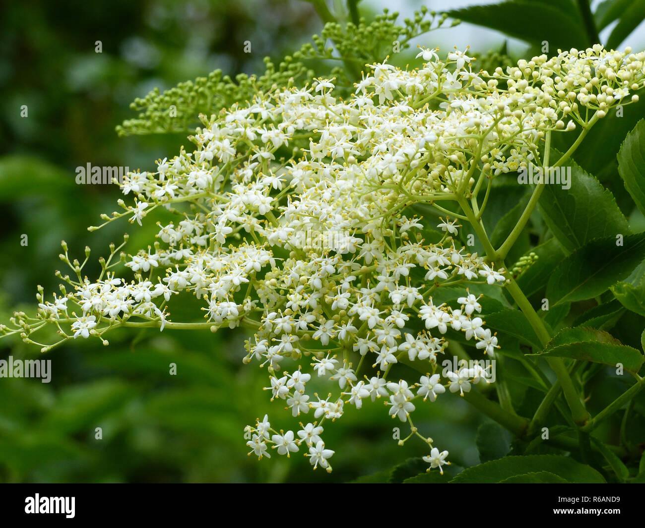 Elderflower Blossom, Sambucus Nigra - Stock Image