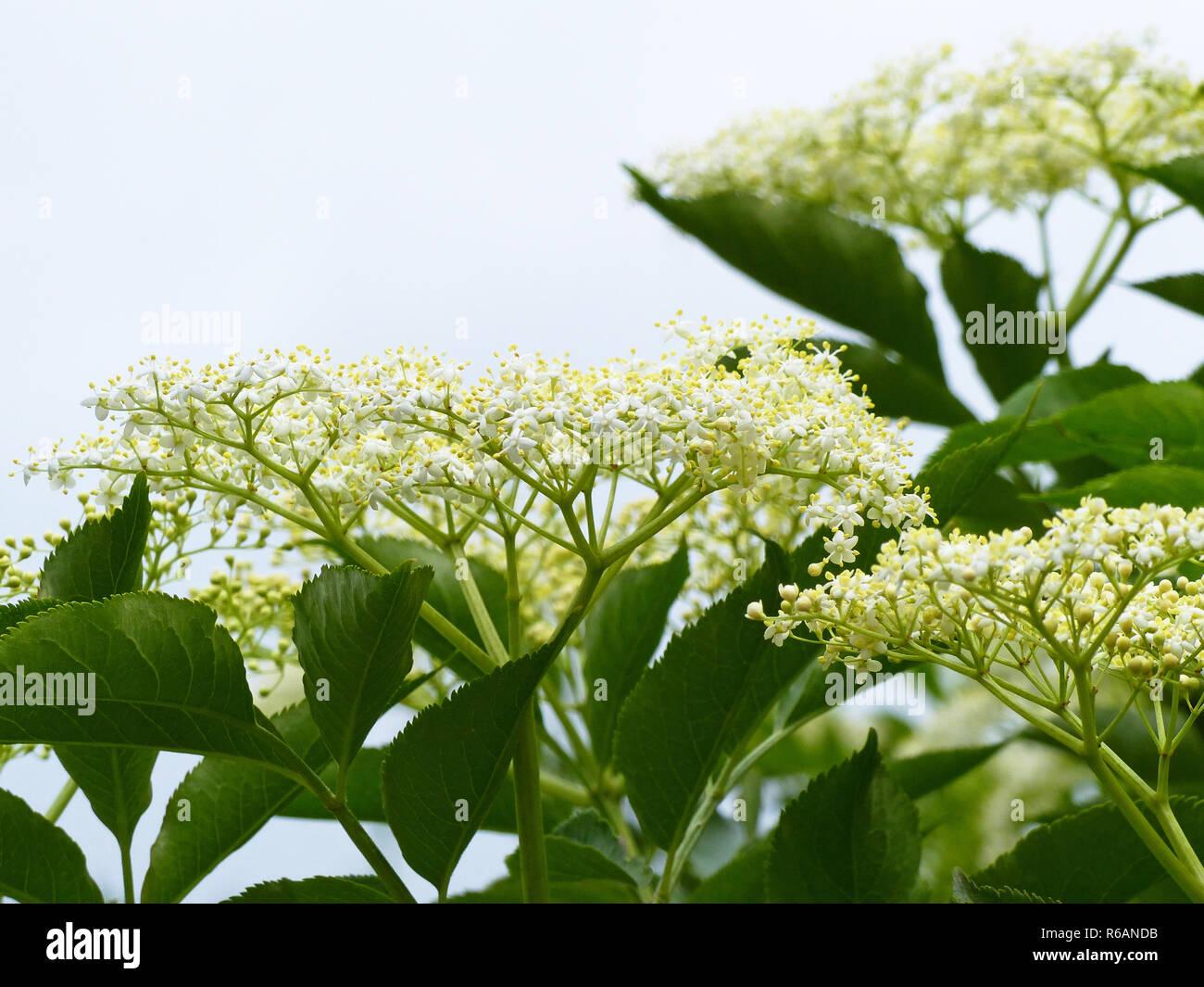 Elderflower Blossoms, Sambucus Nigra - Stock Image