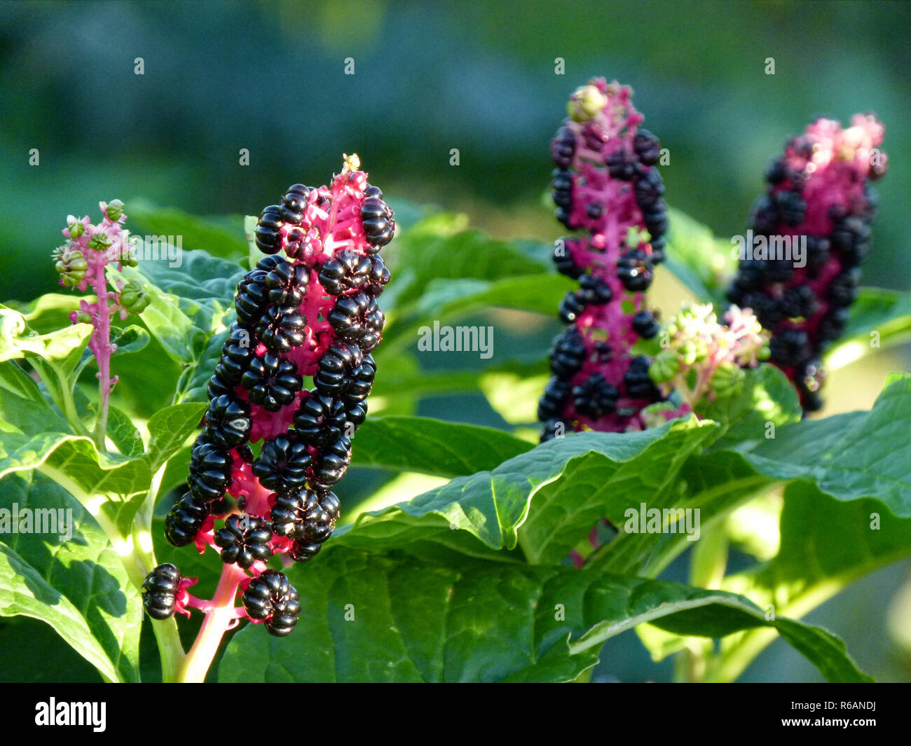Upright Infructescence Of Pokeberry, Phytolacca Stock Photo