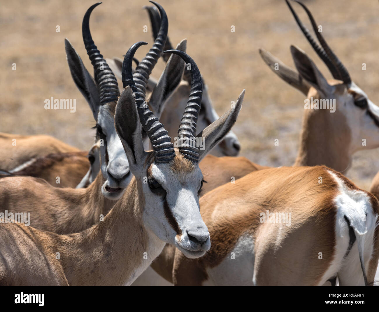 A group of male Impala Antelopes Aepyceros melampus in Nxai Pan National Park, Botswana. - Stock Image