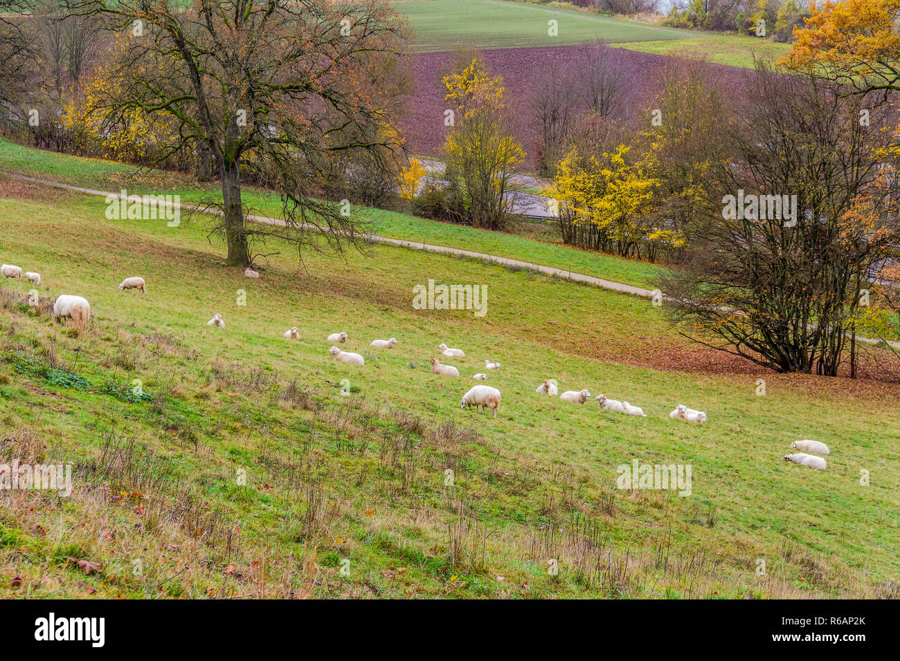 sheep in autumn ambiance - Stock Image