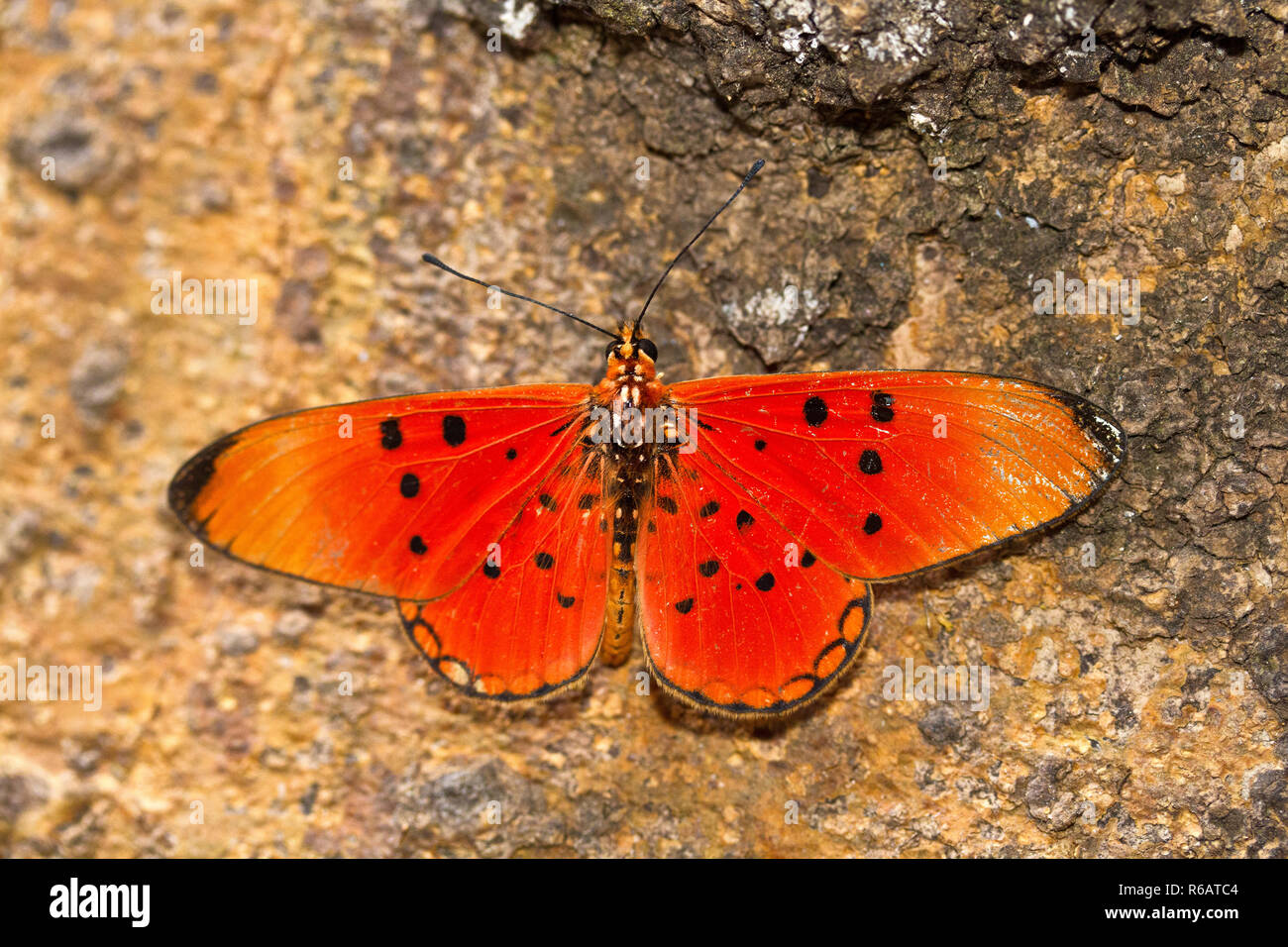 The Fiery Acarea is one of the more brightly coloured of this common butterfly family, part of the brush-footed butterflies, that despite being vividl - Stock Image