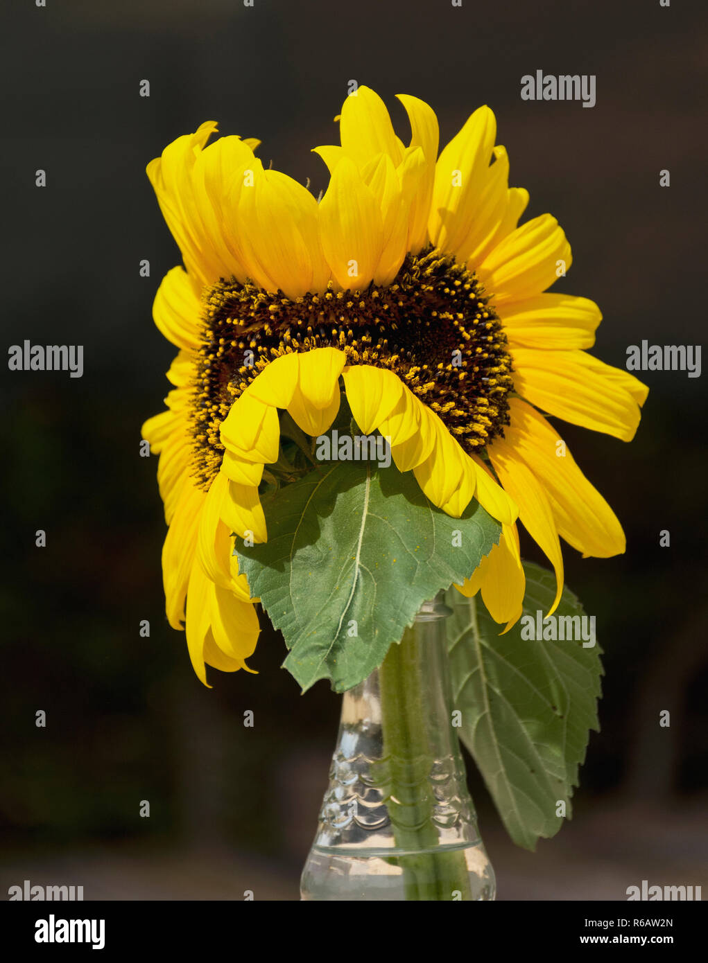 still life of two yellow sunflowers that merged into one mutant, abnormal flower on a black background - Stock Image