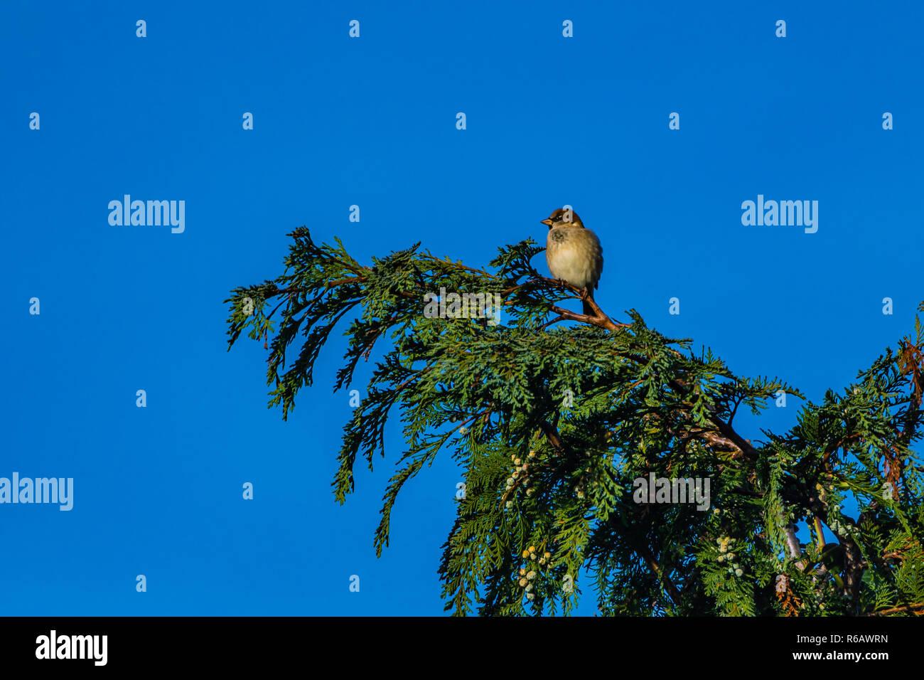 Goldfinch sitting on Thuja tree - Stock Image