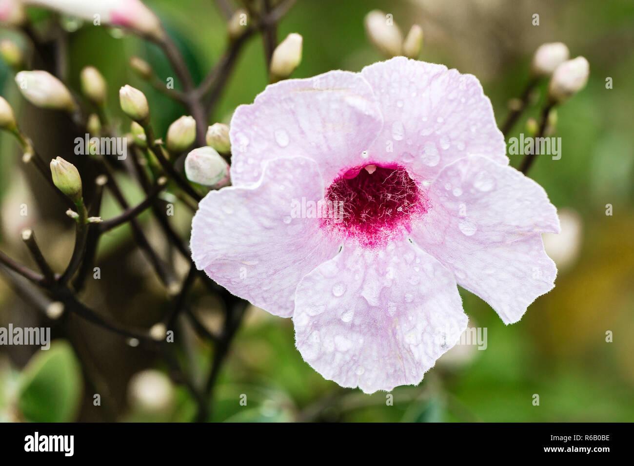 Jasmintrompete - Pandorea jasminoides - Australien Stock Photo