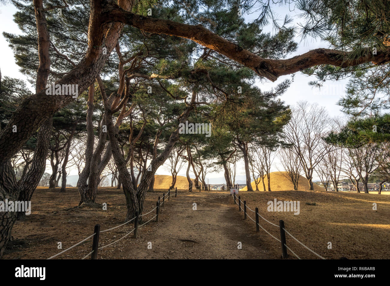 gyerim pine tree forest Stock Photo