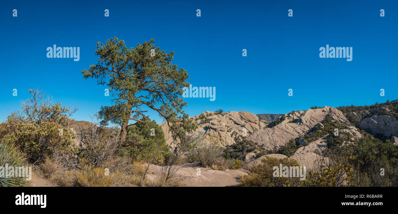 Pine tree leans over the edge of a rock canyon in the Mojave Desert of southern California. - Stock Image