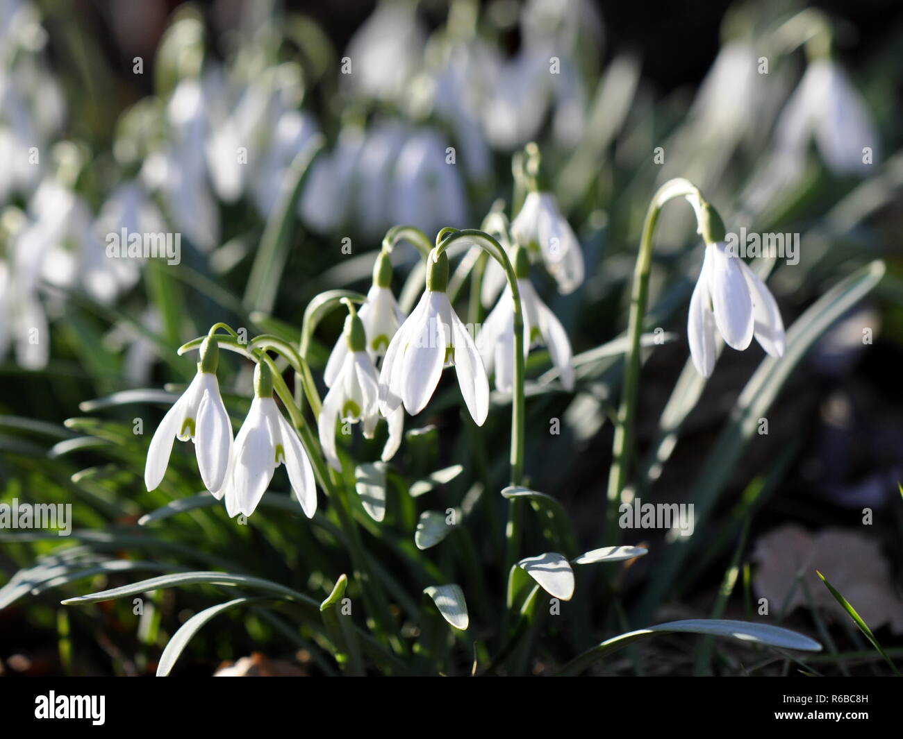 Snowdrop flower Galanthus nivalis in early spring - Stock Image