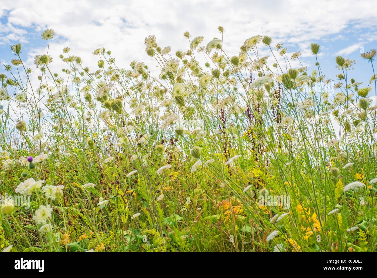 Wilde Karotten Stock Photo