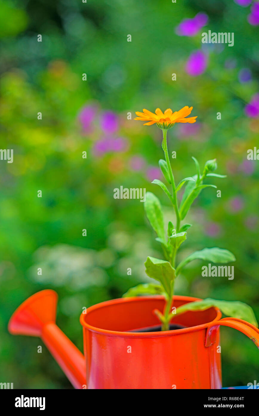Calendula In An Ewer Stock Photo