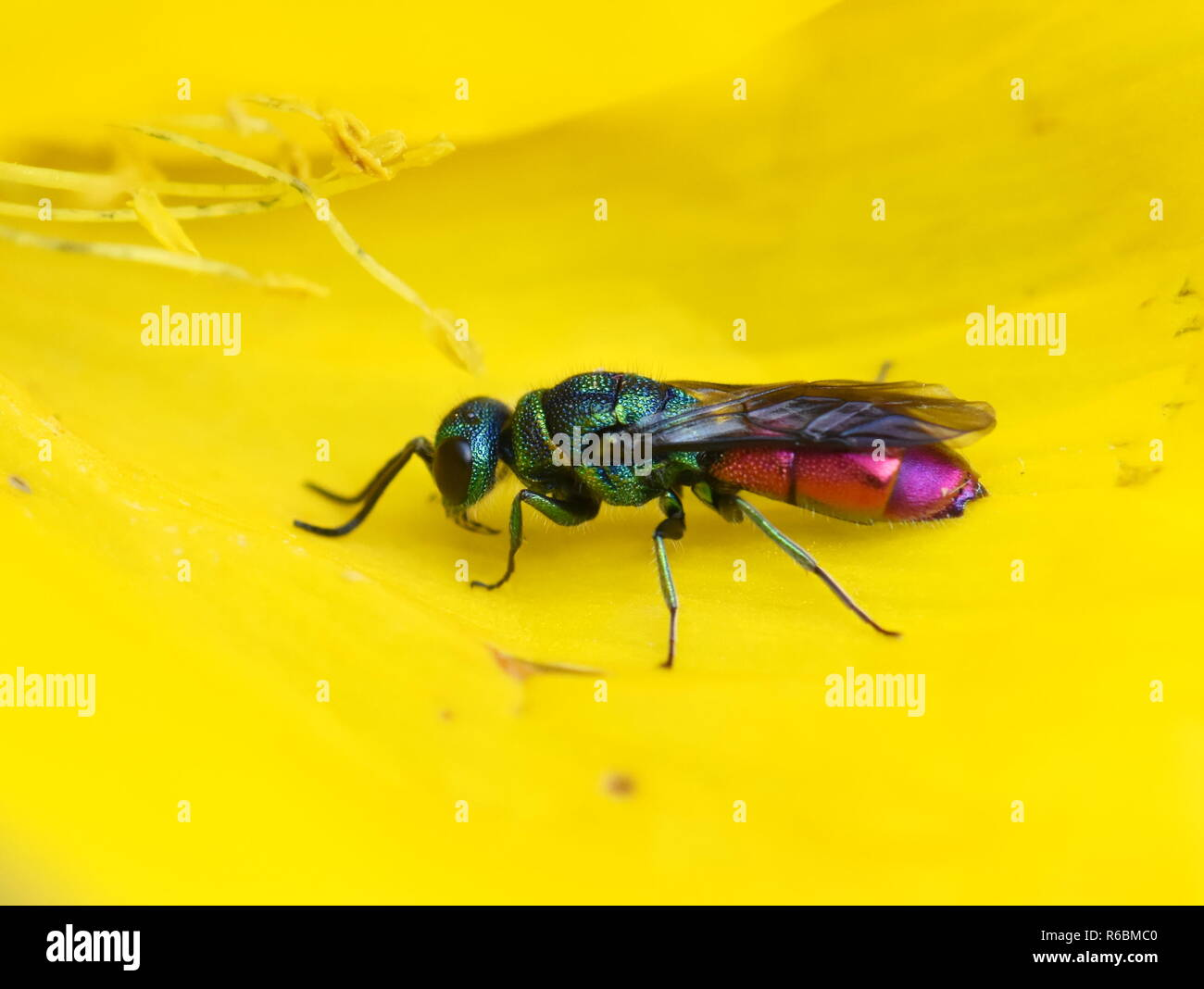 The colorful cuckoo wasp ruby-tailed Chrysis ignita sitting in a yellow flower - Stock Image