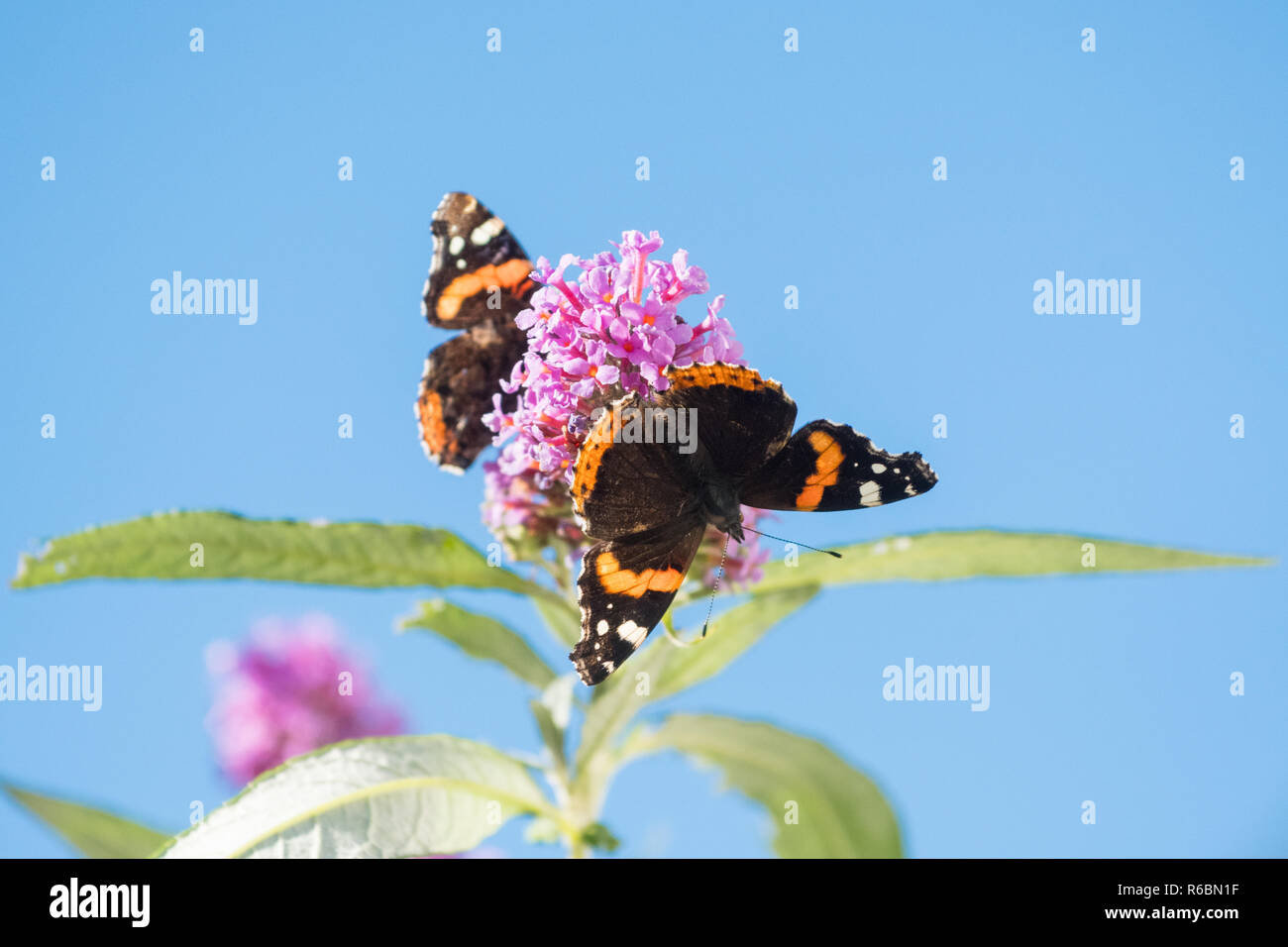 Red Admiral butterfly or Vanessa atalanta butterflies on buddleia or butterfly bush against blue sky with copy space - Scotland, UK - Stock Image