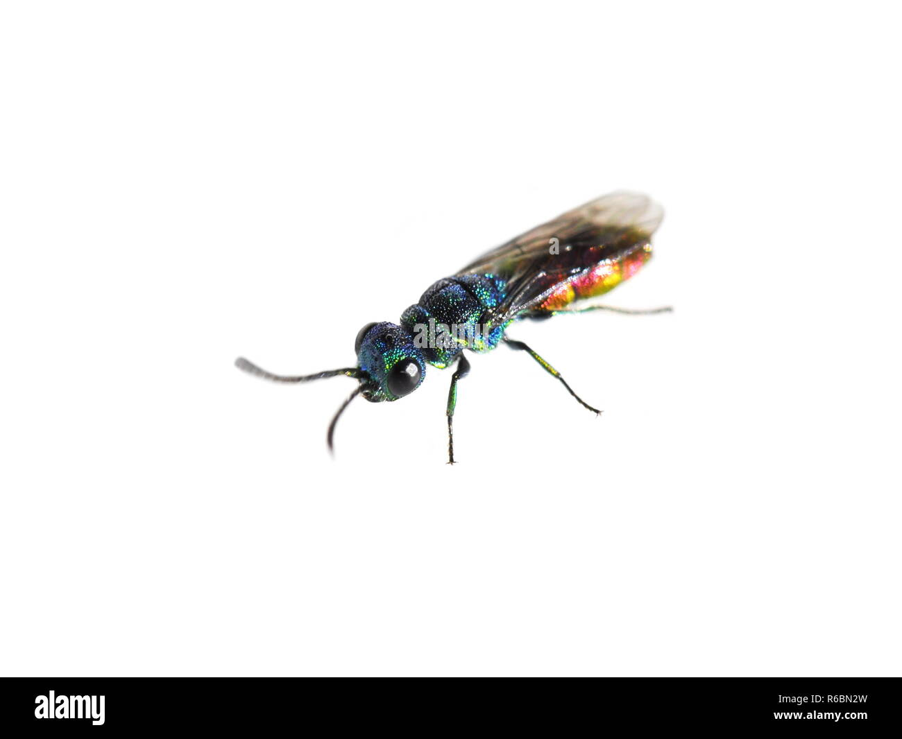 A colorful Chrysis cuckoo wasp on white background - Stock Image