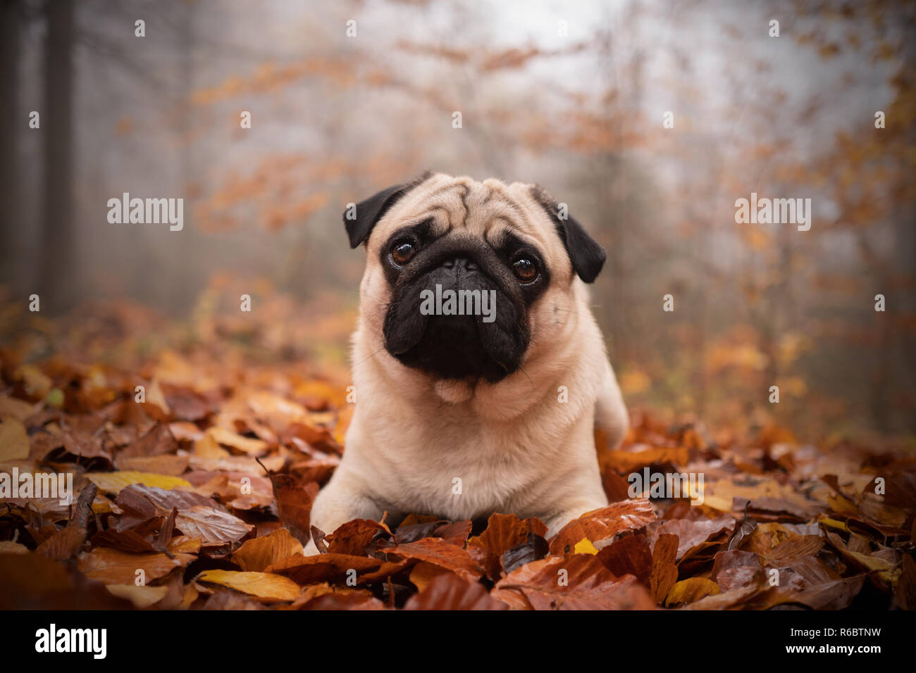 Pug in Forest - Stock Image
