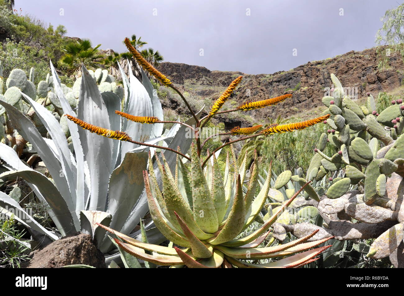 Landscape with cactuses and succulents in Gran Canaria - Stock Image