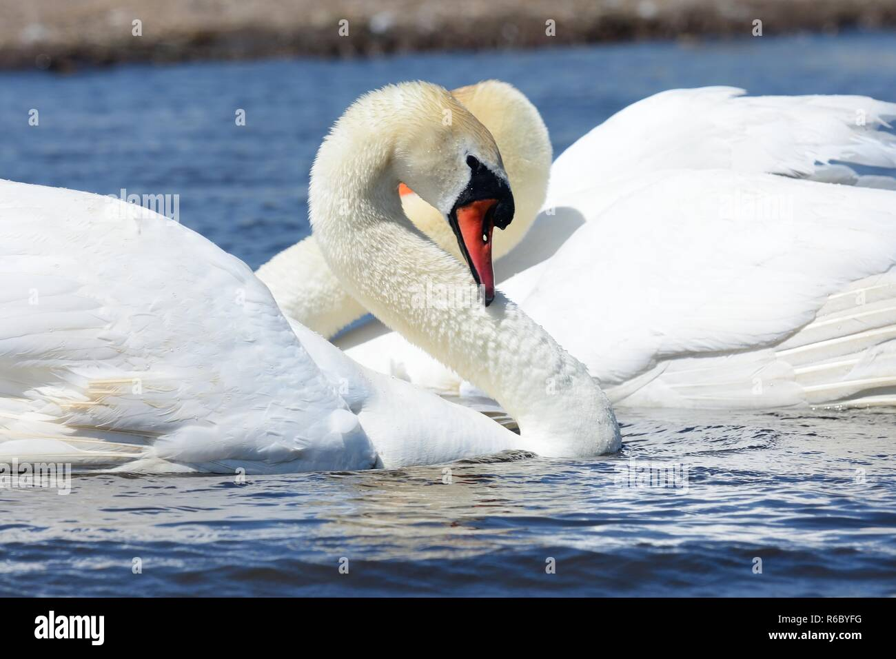 Two mute swans in the water performing a courting ritual Stock Photo