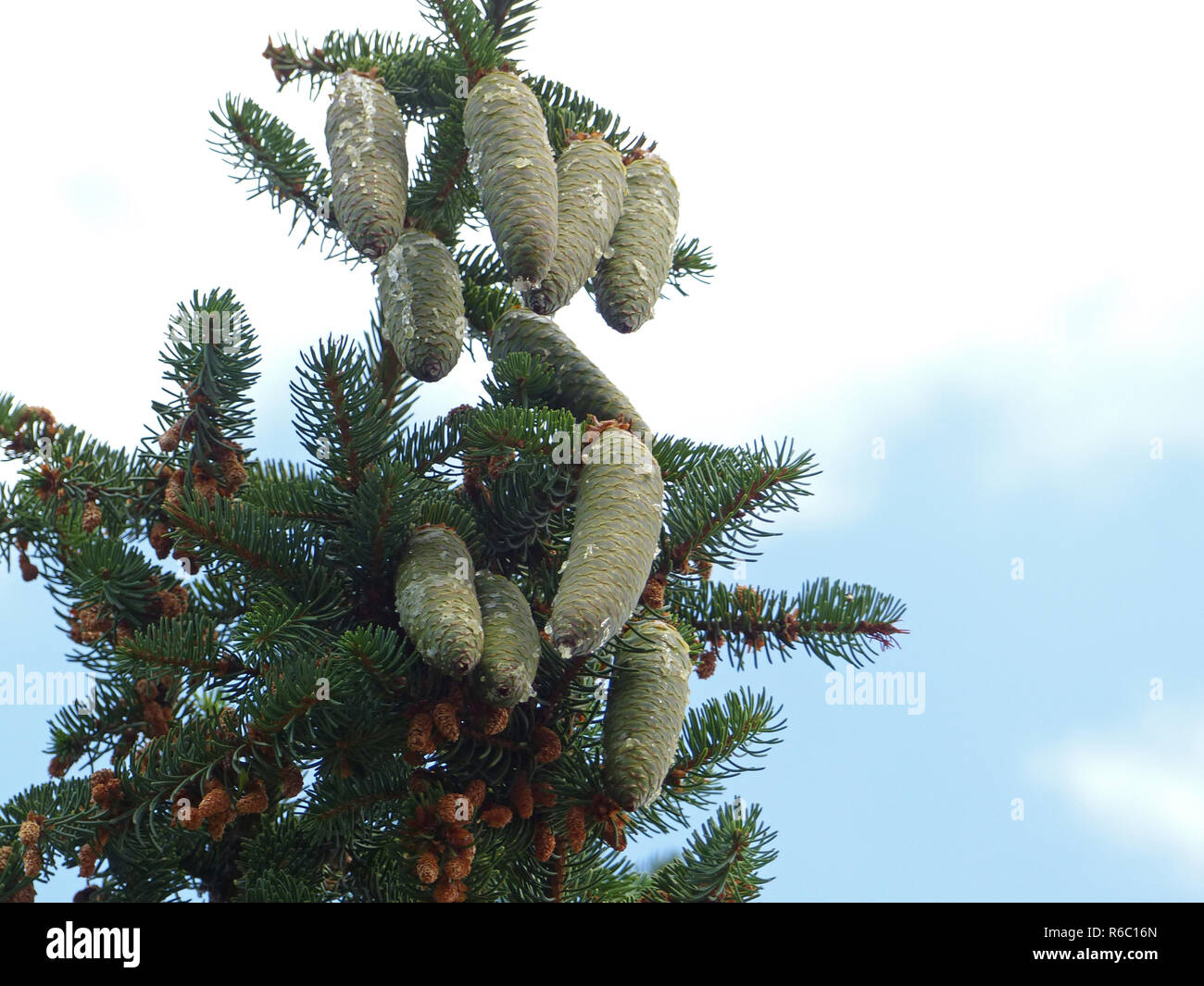 Serbian Spruce, Tree Top With Old And New Cones - Stock Image