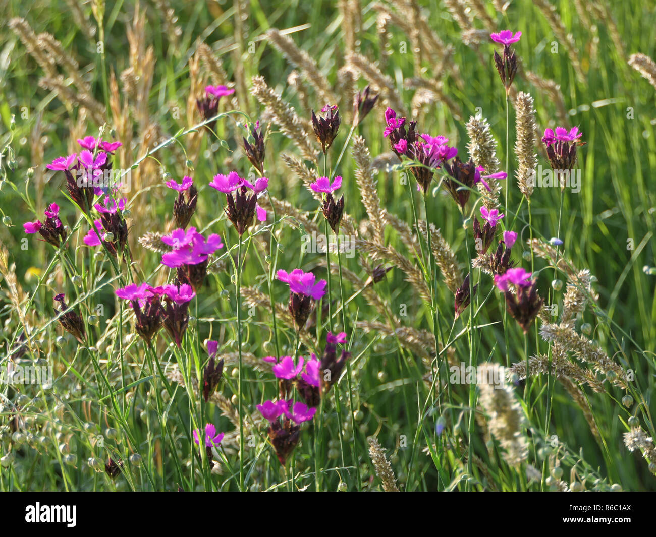Carthusian Carnations, Dianthus Carthusianorum, In A Flower Meadow - Stock Image