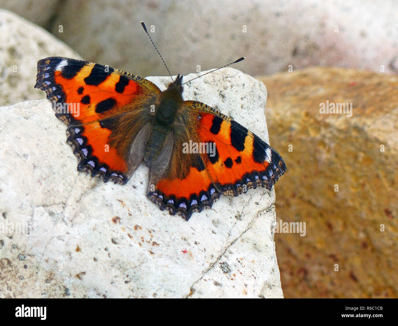 Small Tortoiseshell Butterfly Sitting On A Stone - Stock Image
