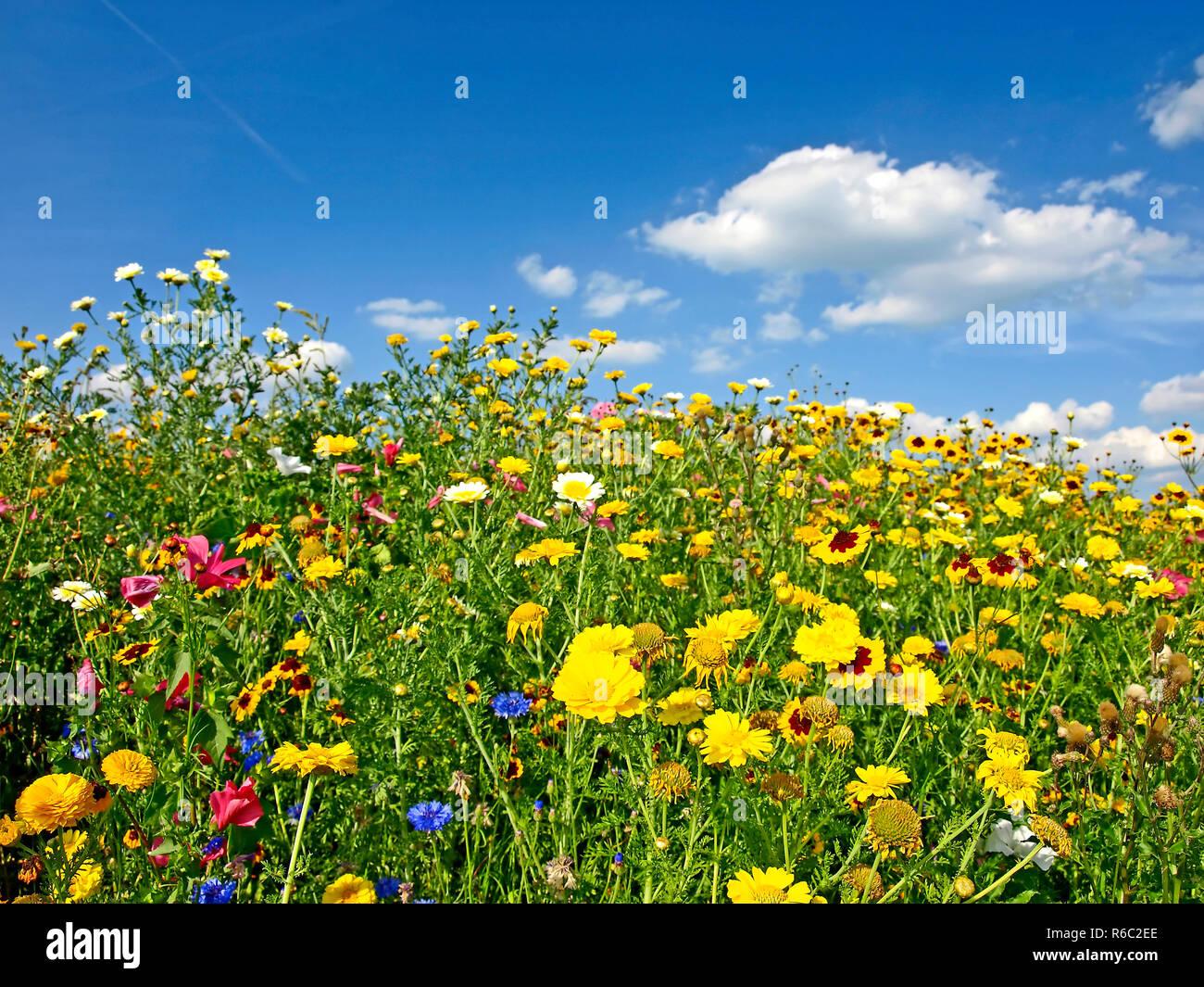 Bunte Blumenwiese - Stock Image