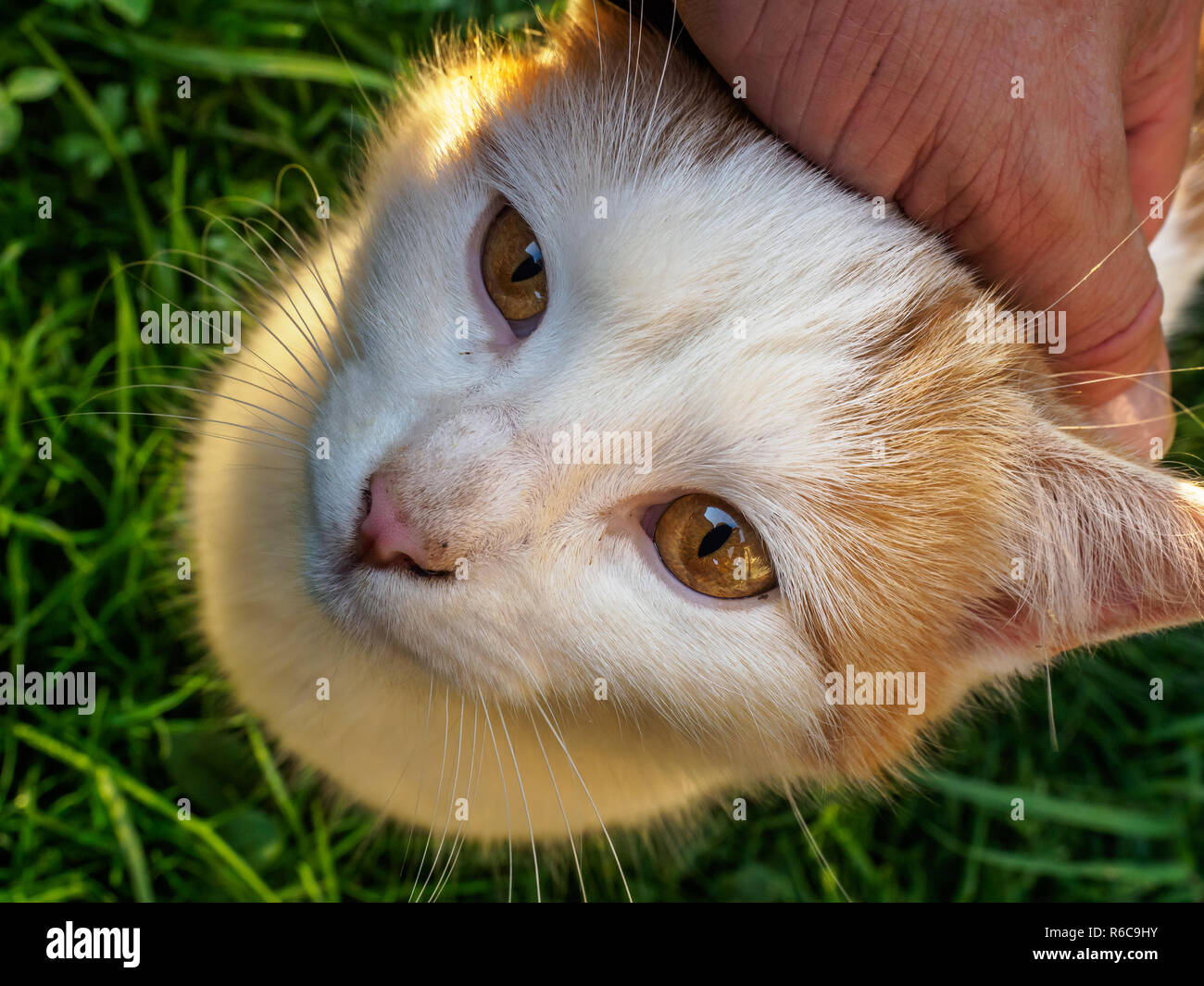 A farm cat enjoys being petted on the head Stock Photo