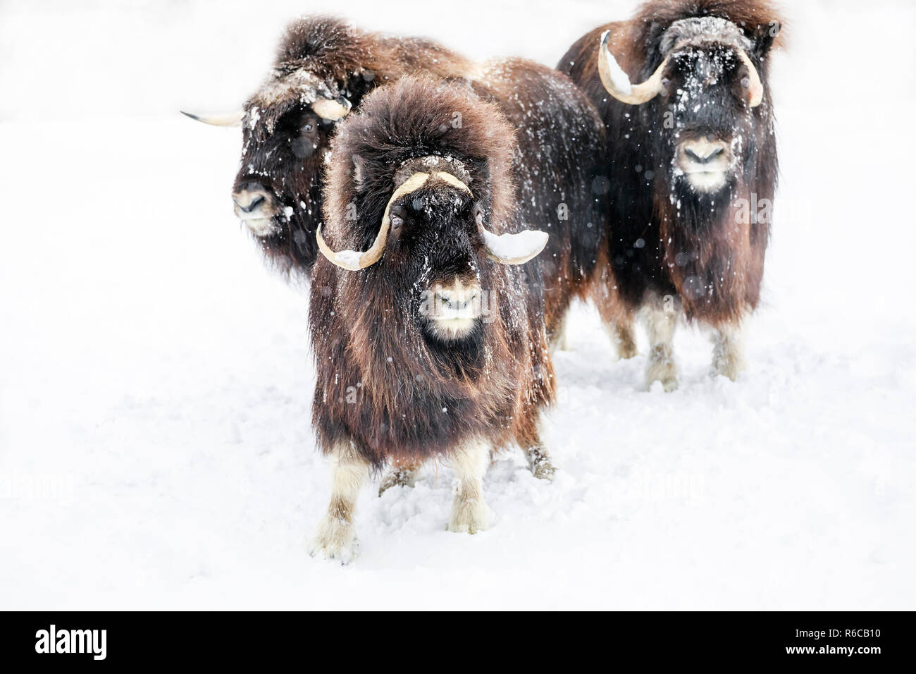 Muskox, Ovibos moschatus, in a winter snowstorm, Manitoba, Canada. - Stock Image