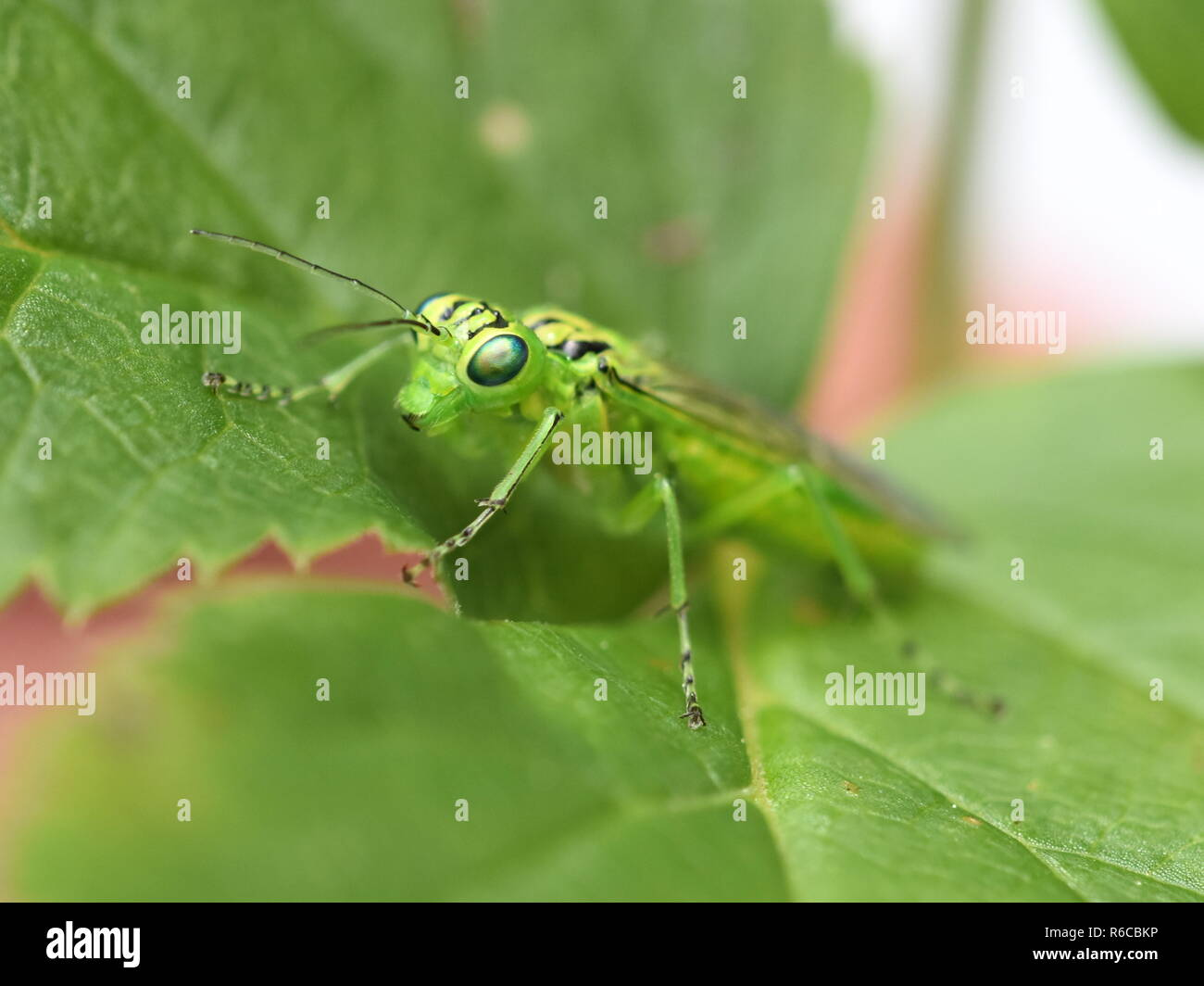 Closeup on the face of the green sawfly Rhogogaster punctulata on a leaf - Stock Image
