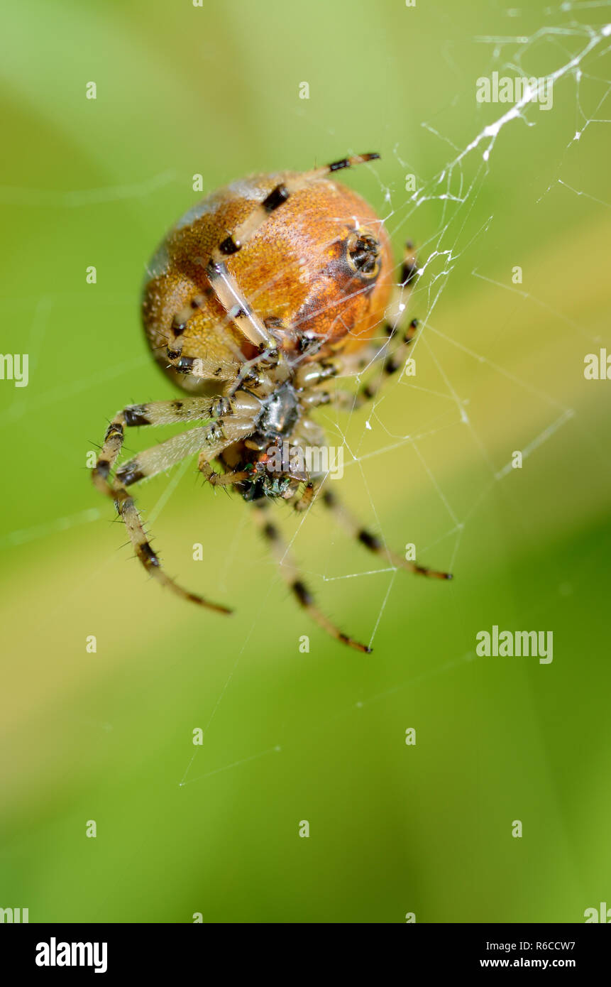 Summer activity of insects.A spider knits a web. - Stock Image