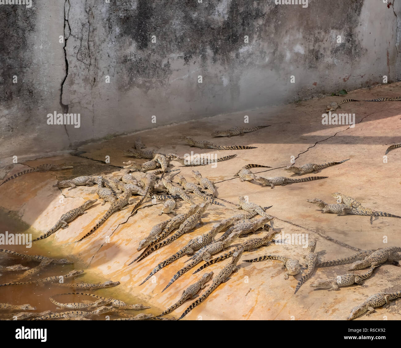 Baby crocodiles in a holding pen at a breeding facility in Cuba. Stock Photo