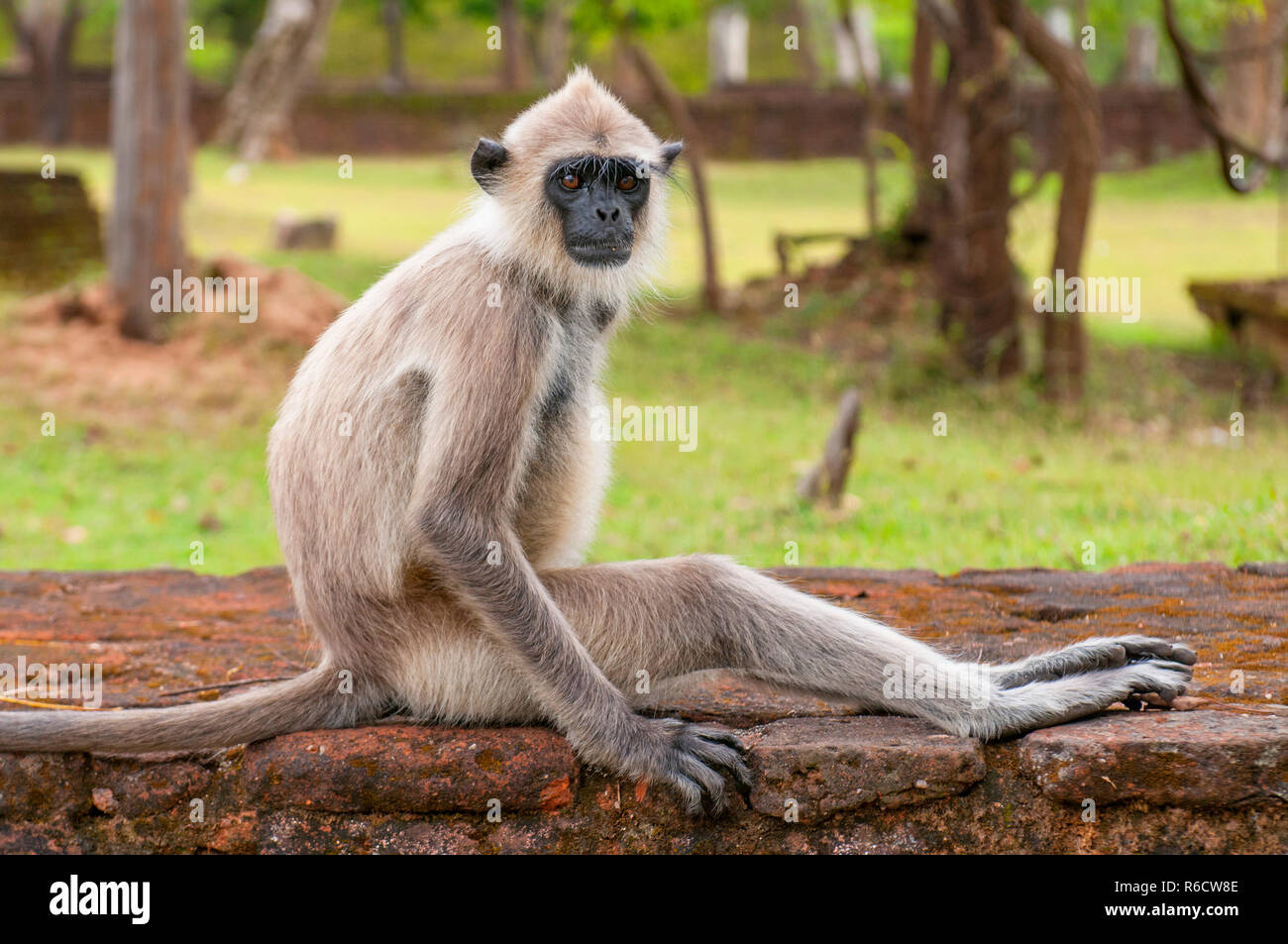 Gray Langurs Or Hanuman Langurs, The Most Widespread Langurs Of The Indian Subcontinent, Are A Group Of Old World Monkeys, Polonnaruwa, Sri Lanka - Stock Image