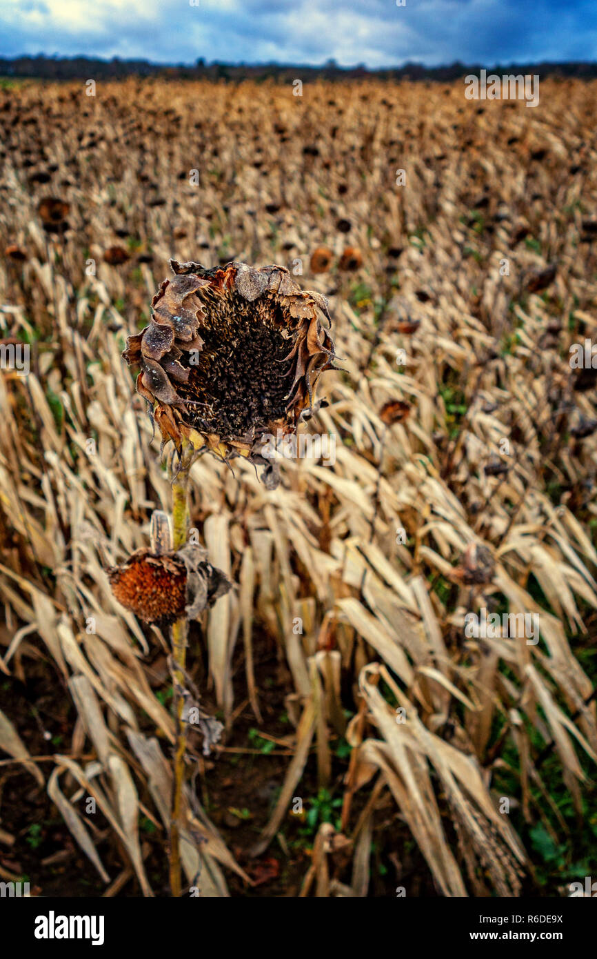 Closeup of dead flower heads in  field of dying Sunflowers in the foreground on the Pennine Way near Barnsley, England on a Stormy winters day - Stock Image